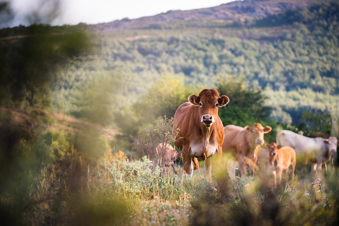Demanda Vacuno vacas